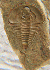 Olenellus gilberti. This trilobite has a rounded glabella tip, a narrow space between the glabella and the anterior margin, and a more semi-circular cephalon.